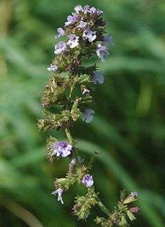 Calamintha officinalis